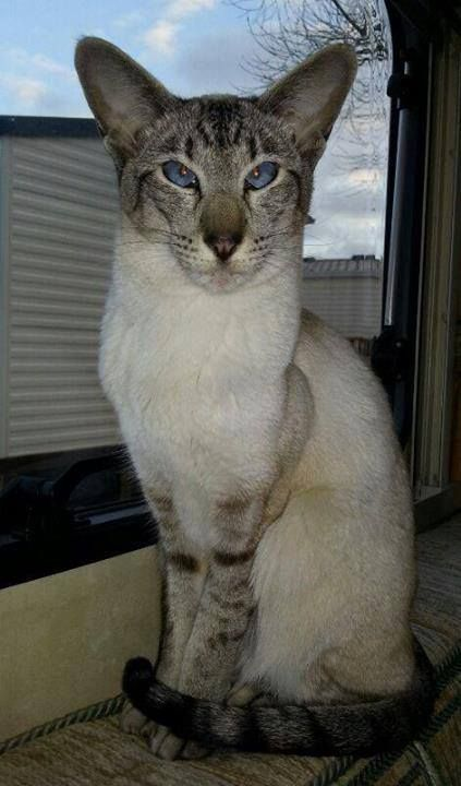 Siamese/Orientals cats.Lilac point,Seal tabby silver ...