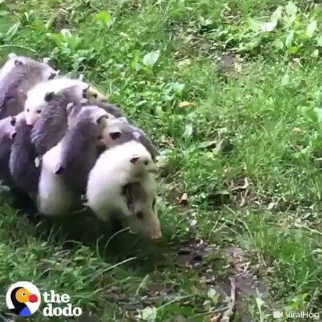 An opossum mom with her babies