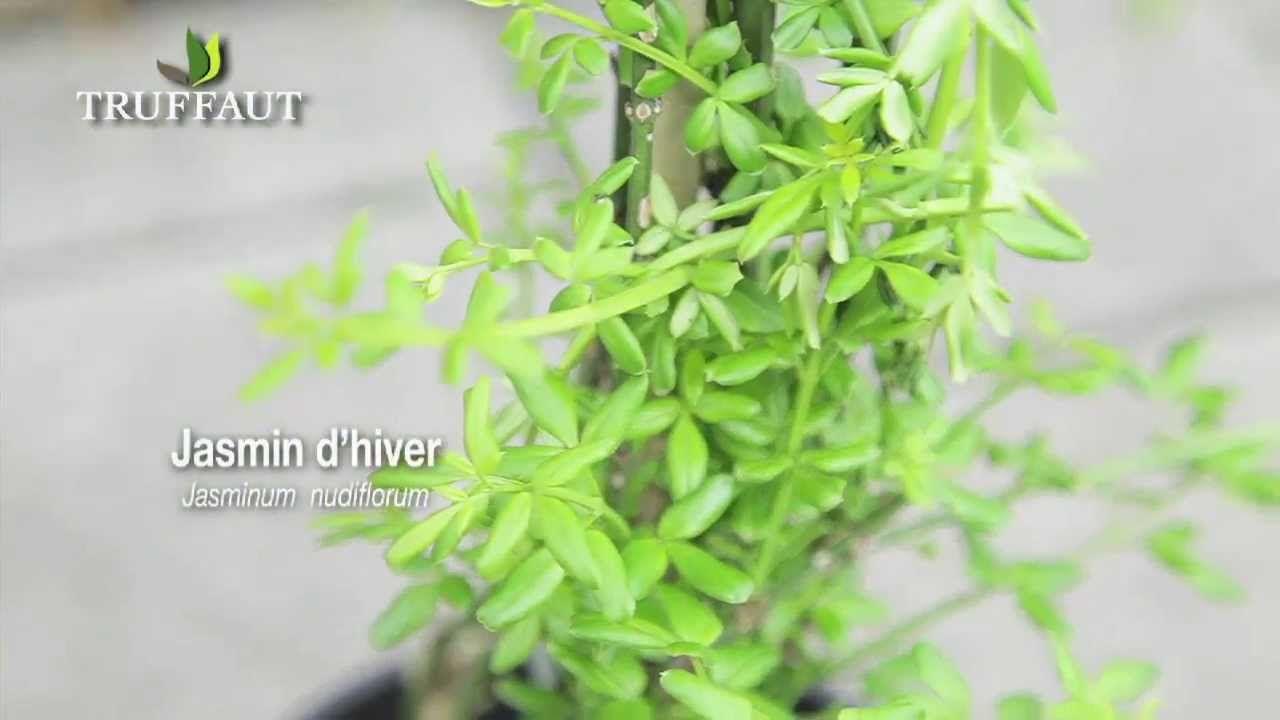 r ussir le jasmin calendrier jardinier garden herbs. Black Bedroom Furniture Sets. Home Design Ideas