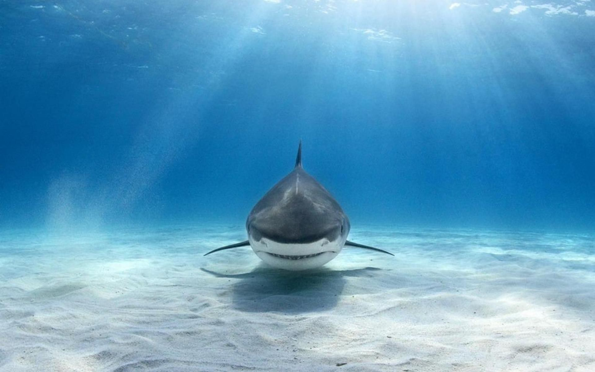 Tiger Shark Wallpaper Shark Pictures Shark Background Amazing Nature Photography