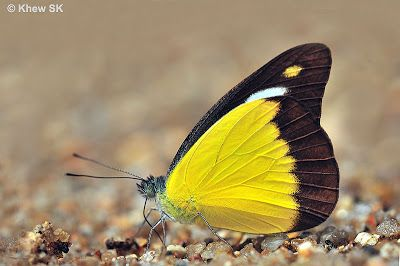 Butterflies of Singapore: Butterfly of the Month - March 2012