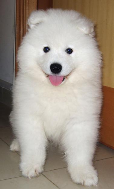 Tin Tin The Samoyed Samoyed Dogs Samoyed Puppy Dogs