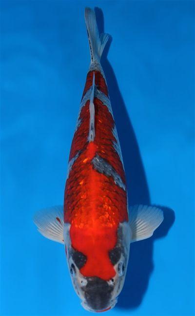 Ginrin Goshiki Retail Price 900 Breeder Hiroi Koi Farm Size 34cm 13 39in Approx Koi For Sale Koi Fish Pet
