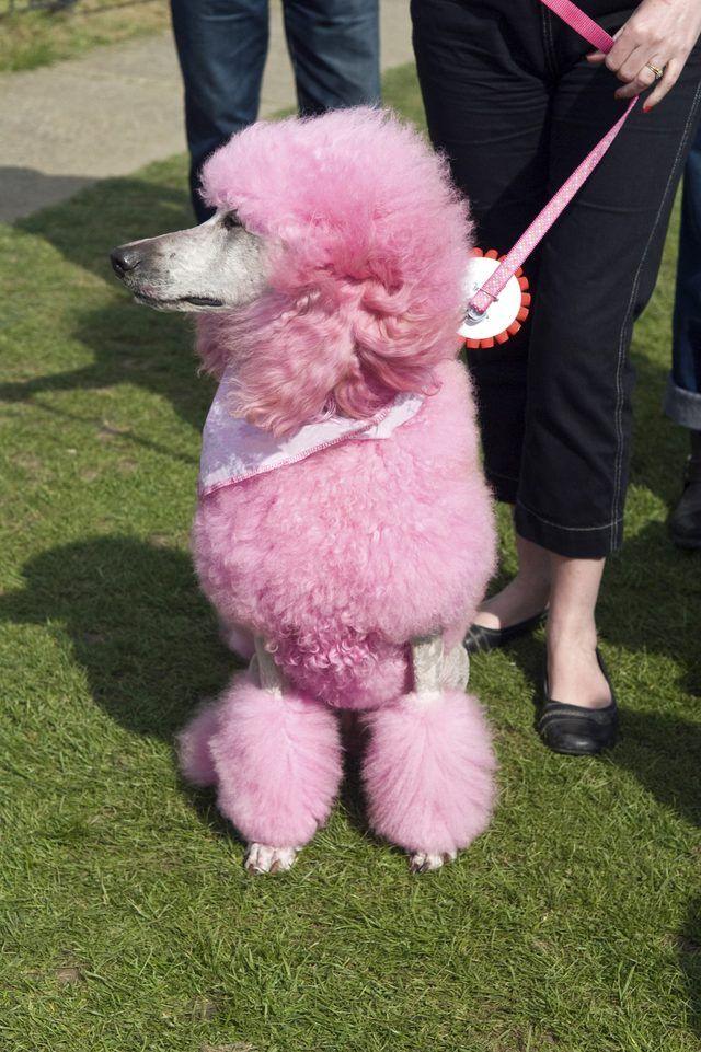 Image Result For Dog Hair Dye Pink Pinterest Dogs Dog Hair