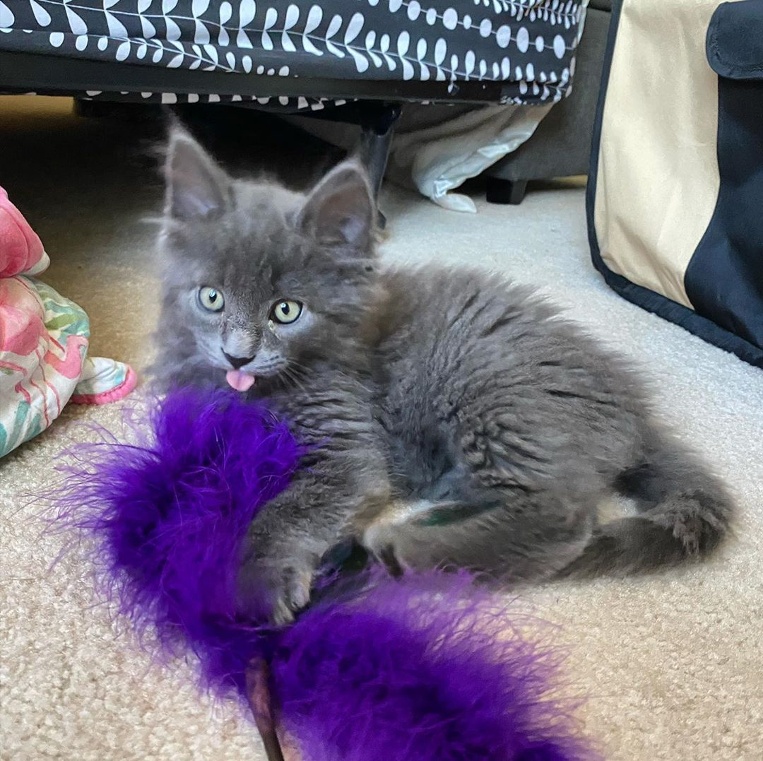 Just playing around with my boa #kitty #kittygang #wolfgang #cat #cats #nebelung #kitty #nebelungsofinstagram #nebelungcat #catsofinstagram #cats_of_instagram #catstagram #catsofig #longhair #longhairdocare #greycat #catdad #furrball