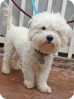 Santa Ana Ca Maltese Poodle Miniature Mix Meet Chester A Dog For