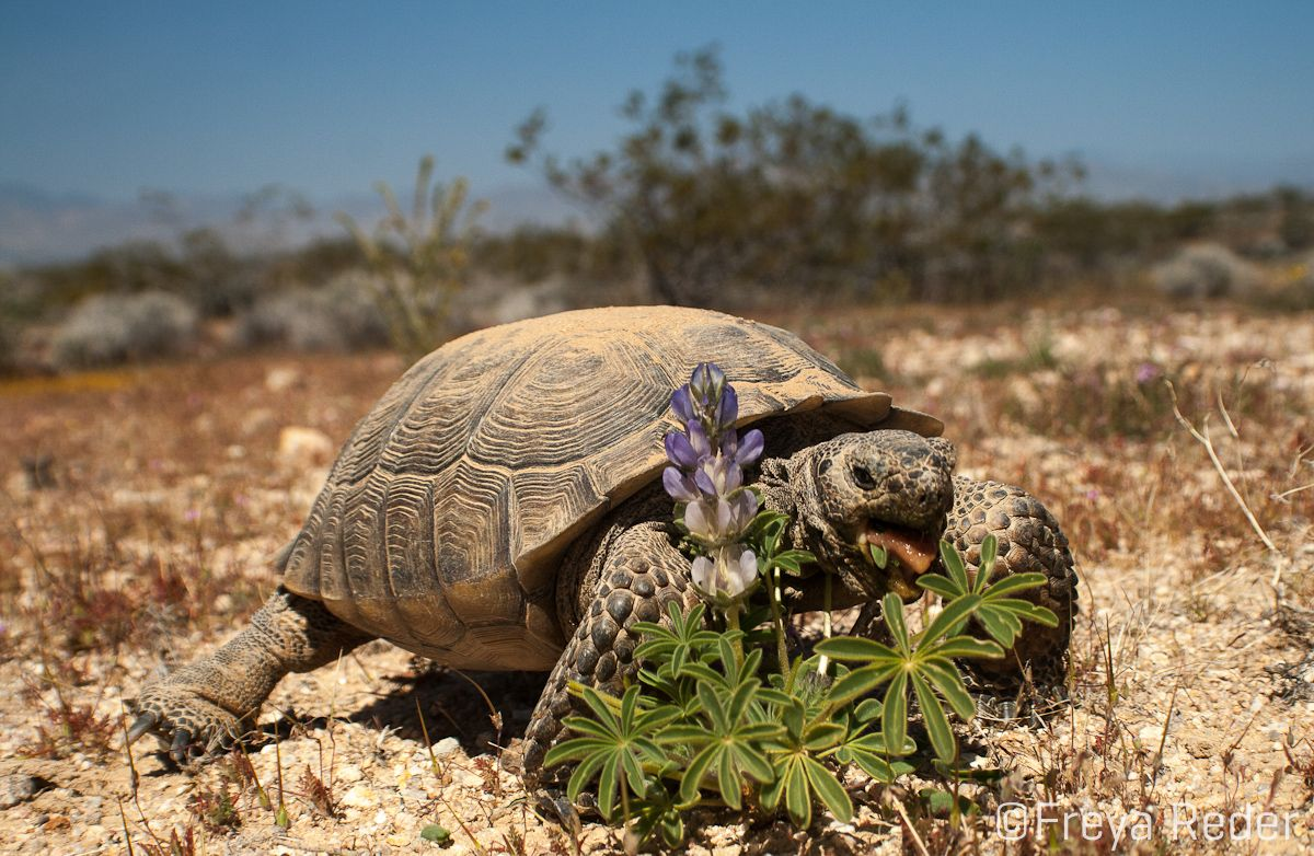 The desert tortoise obtains energy by eating certain
