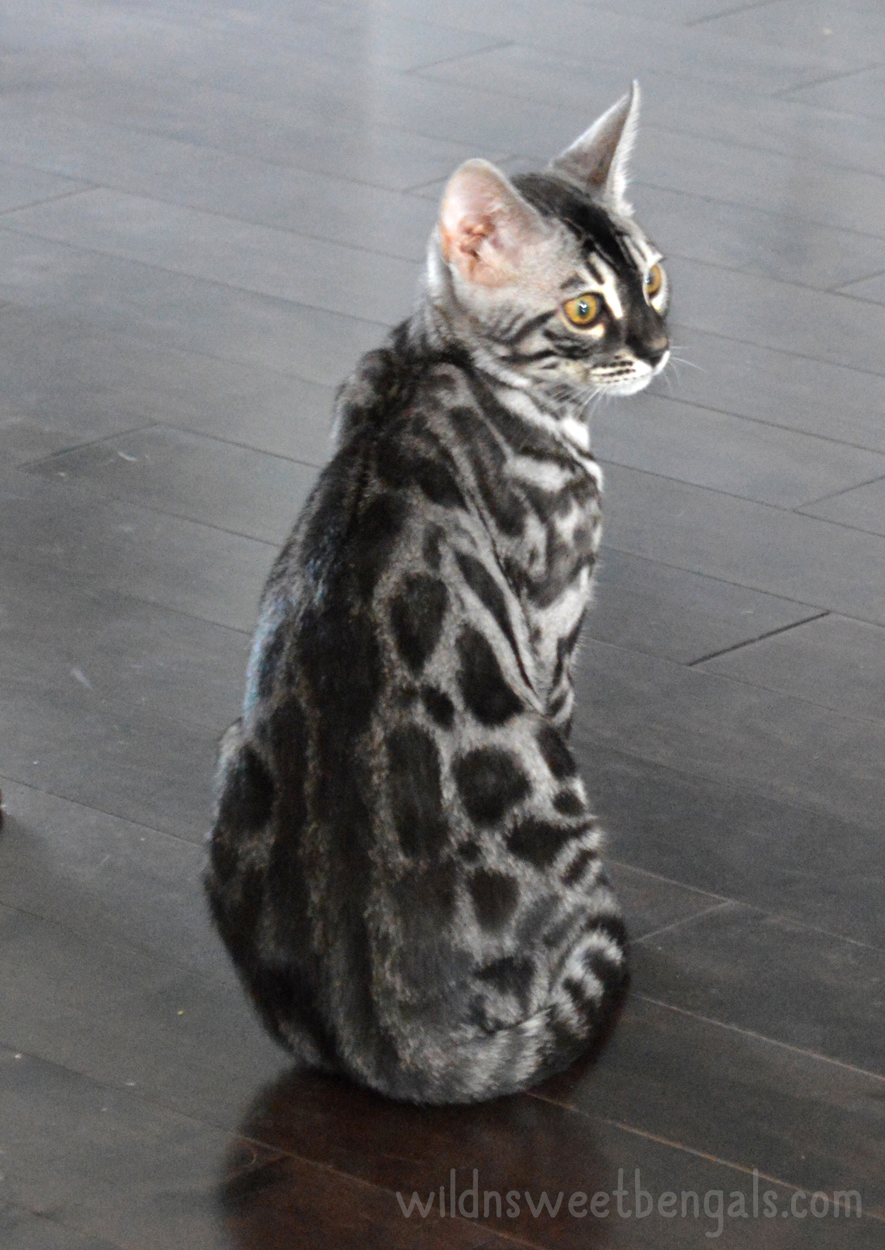 Outstanding silver charcoal bengal cat born at home More photos
