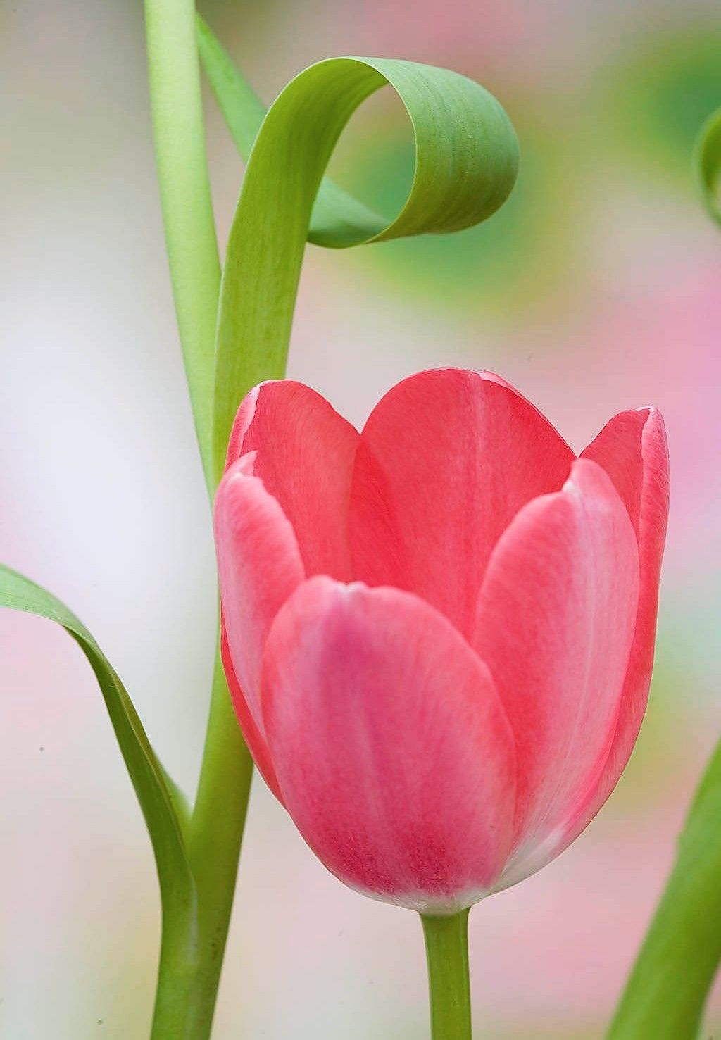 Beautiful Tulips Flowers Pinterest Flowers Flower And
