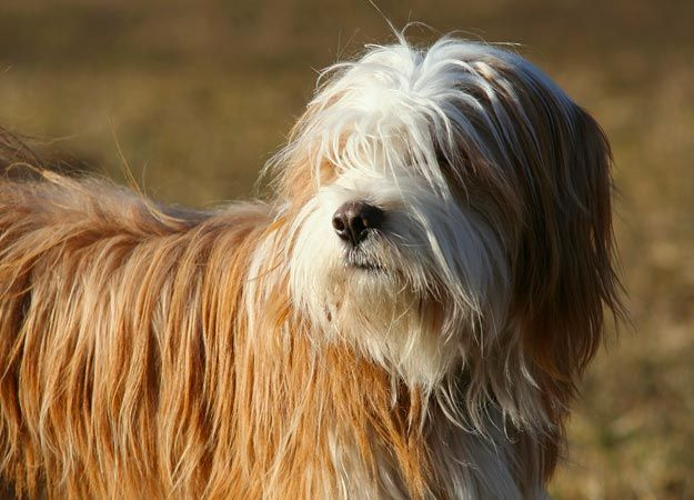 The Tibetan Terrier is a mediumsize breed of dog