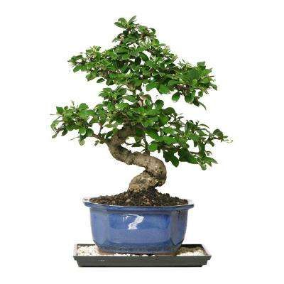 Indoor Plants Garden Plants Flowers The Home Depot Indoor Bonsai Tree Bonsai Trees For Sale Fukien Tea Bonsai