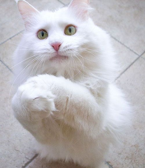cute cat begging