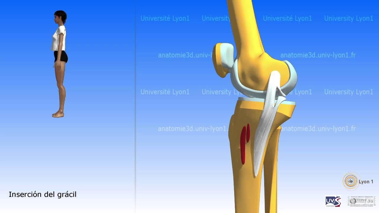 El sartorio y el músculo de la pata de ganso | anatomía 3D MUSCULOS ...