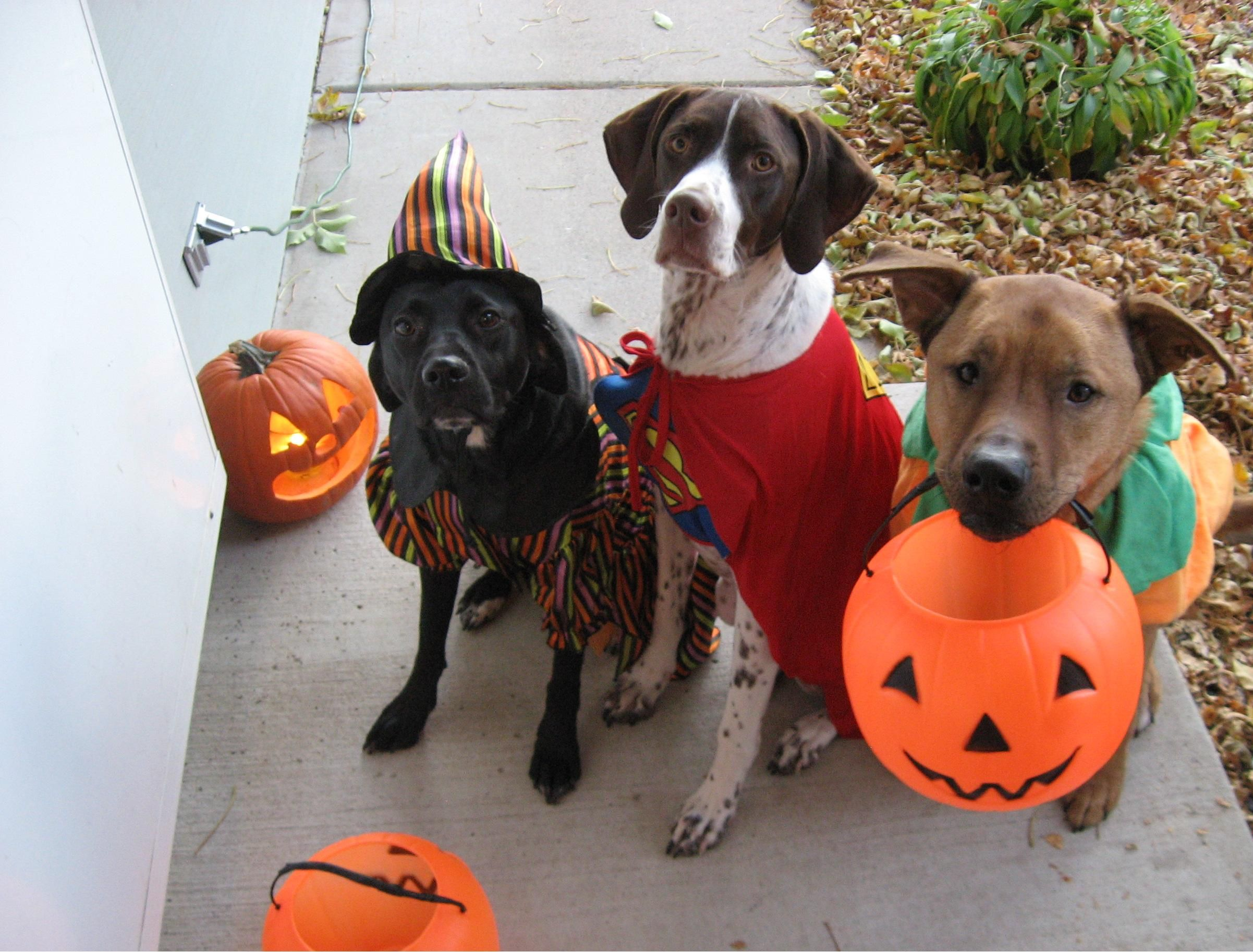 dogs in halloween costumes wallpaper - Google Search | Dogs ...