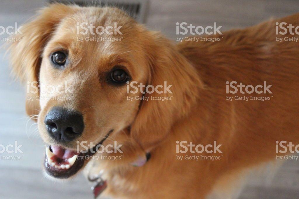 A Portrait Photograph Of A Young Female Golden Retriever Dogs