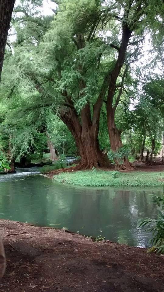 El bosque de Ahuehuetes más grande de México