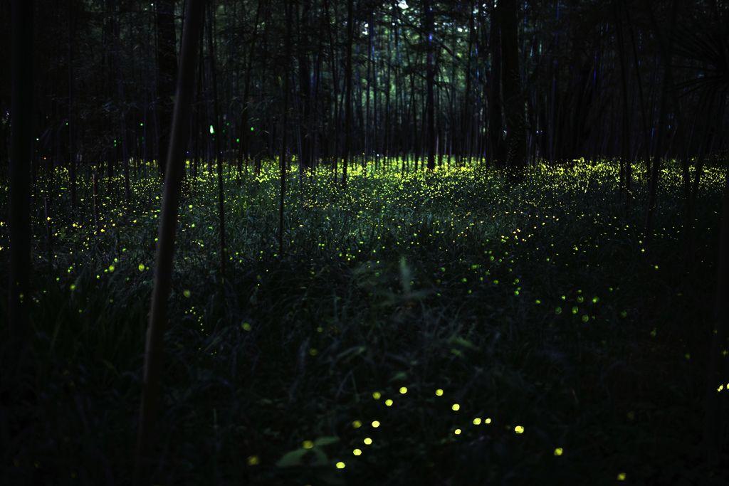 蛍銀河の画像(写真)
