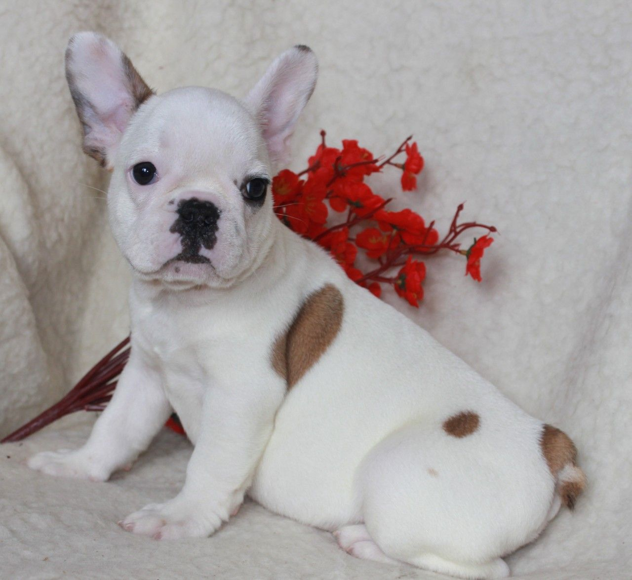 Luna female puppy French Bulldogs for sale in Brooklyn