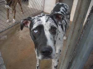 Adopt 4 Urgent 2 Yrs On Merle Great Danes Great Dane Dogs