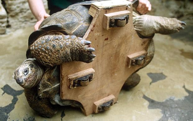 Animal Attachments A Helping Hand For Injured Pets - Injured tortoise gets set lego wheels help move