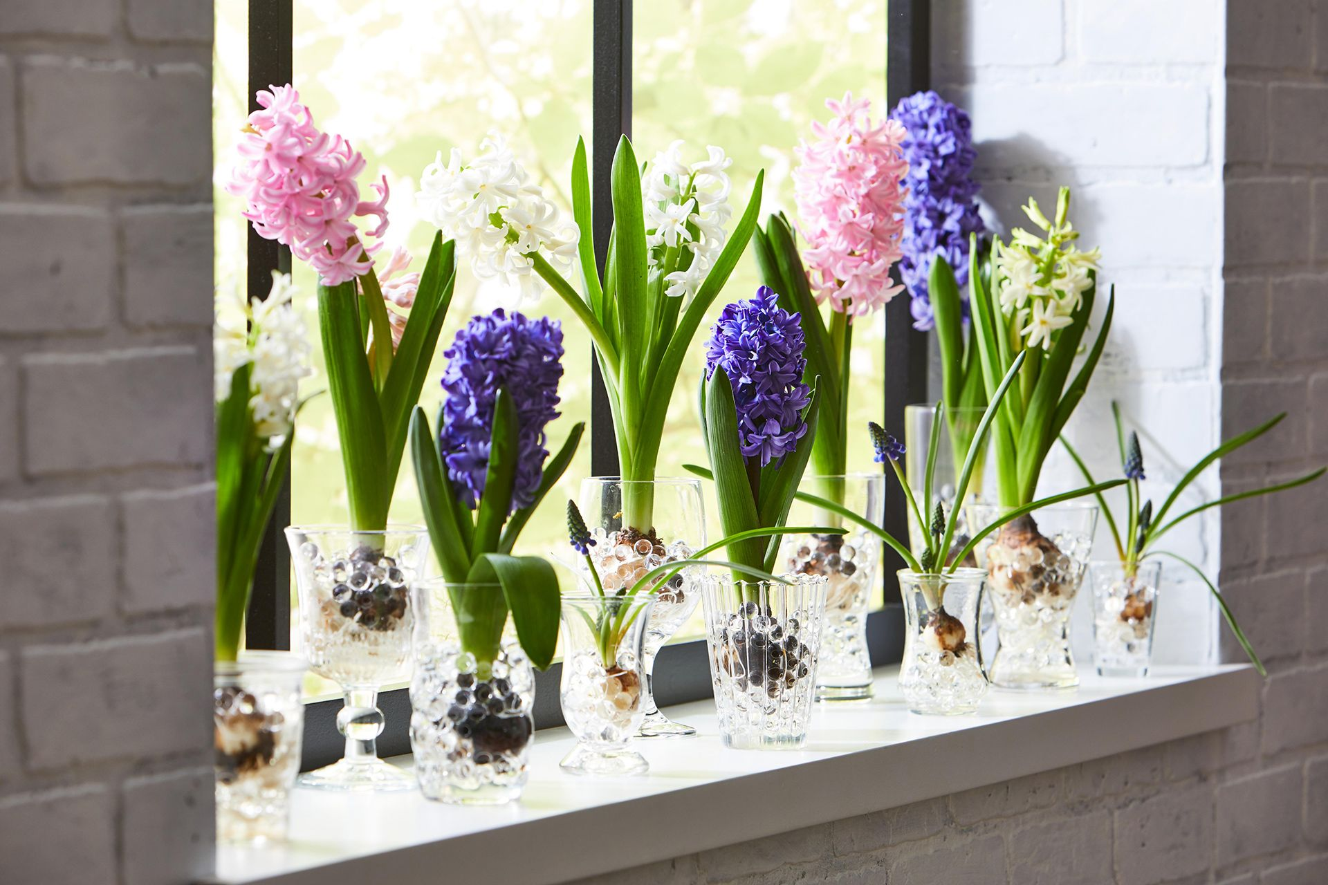 Bring Spring to Your Home Early by Forcing Hyacinth Bulbs ...