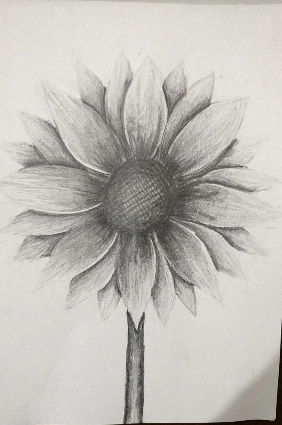Sunflower in pencil sunflower sketches pencil shading