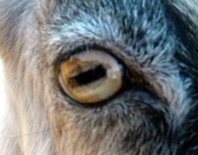 Goat Eye Right Eye Similar In Shape To Horse Eye With Same Kind