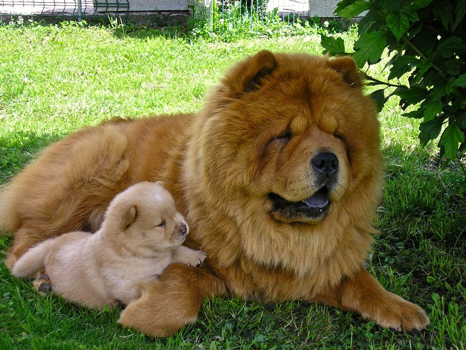 Chow Chow Mom And Puppy Chow Chow Puppy Chow Chow Dogs Banned