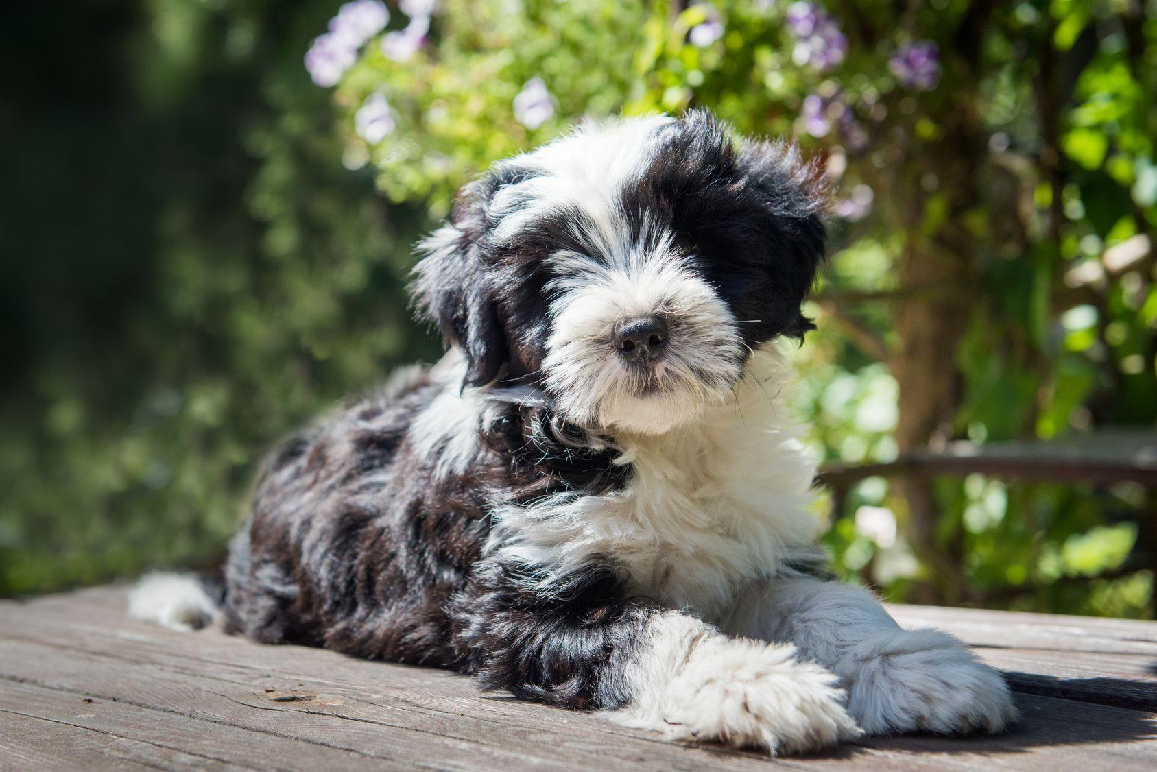 Tibet Terrier Tibet Terrier Terrier Tibet Terrier Mischling