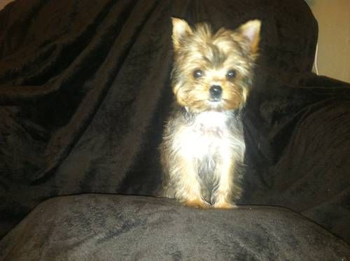 Super Tiny Rare Ocean Pearl Yorkshire Terrier Yorkshire Terrier