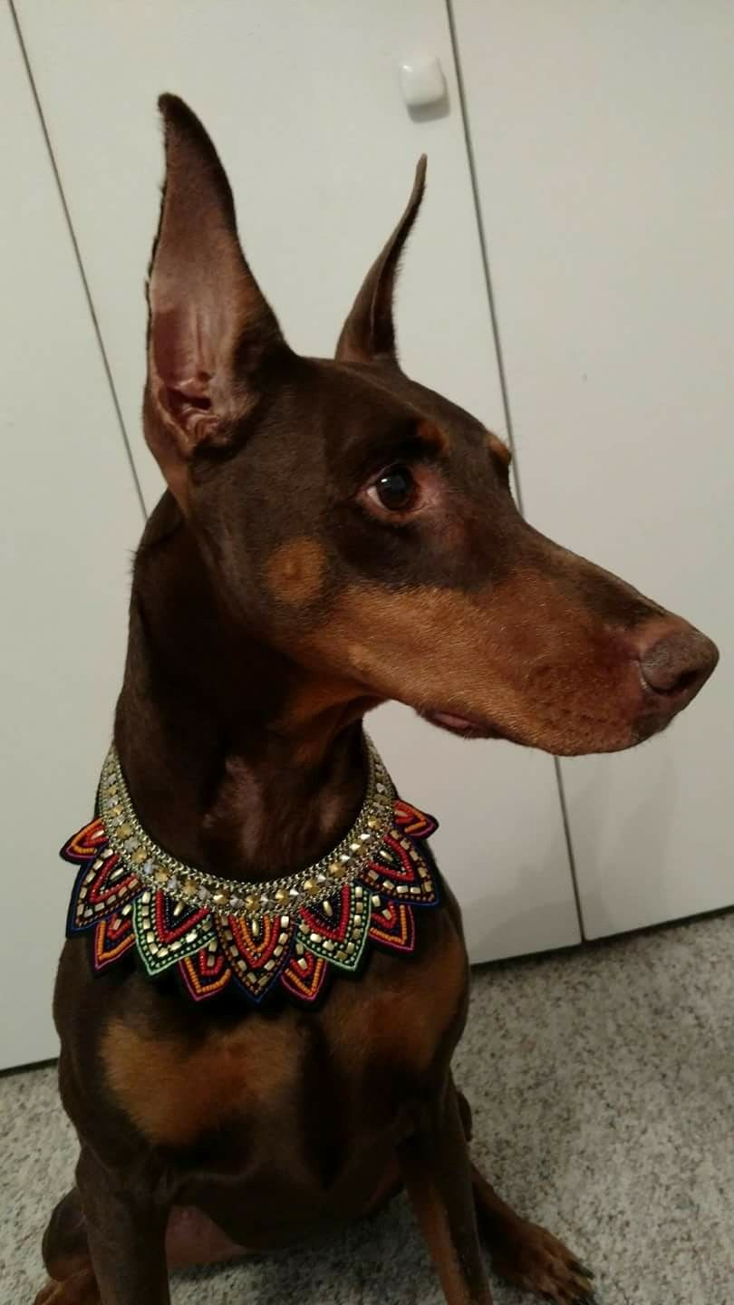 Look at this pup!!! [ DOGS ] Doberman & Friends