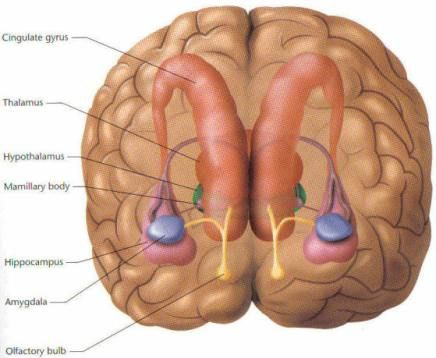 Limbic system psychology pinterest brain neuroscience and limbic system ccuart Image collections