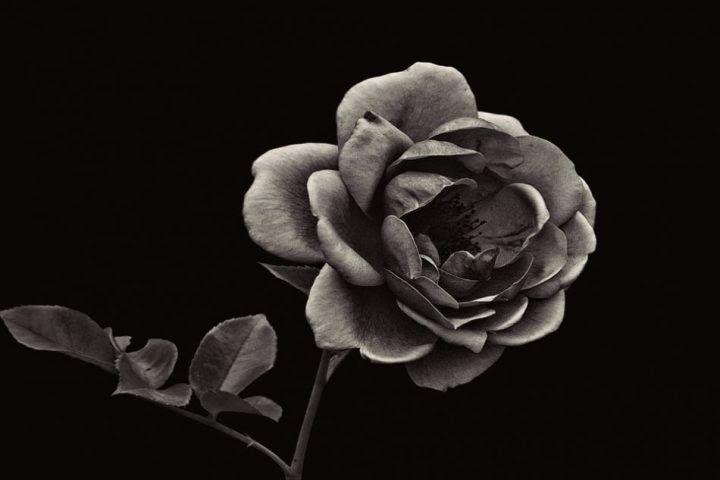 Paling Keren 30 Gambar Kartun Bunga Mawar Cantik Unduh 6800 Koleksi Gambar Animasi Setangkai Bunga Paling Download Kumpulan Gambar Bunga Mawa Imagenes Mawa