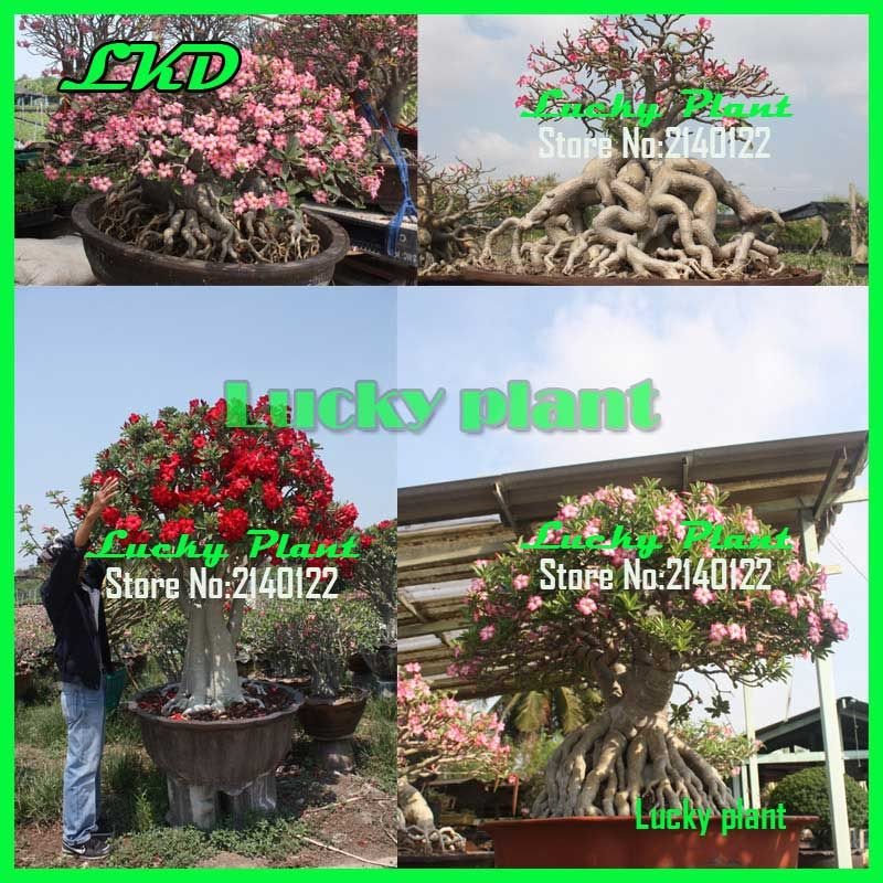 pictures of desert rose plants