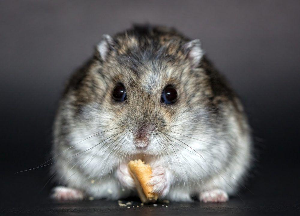 Hamster Sind Klassiker Unter Den Haustieren Sie Kommen Nicht Nur Bei Kindern Gut An Durch Den Geringen Platzbedarf Ist Ei In 2020 Hamster Nagetiere Kleine Haustiere