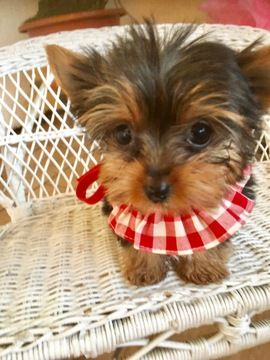 Yorkshire Terrier Puppy For Sale In Los Angeles Ca Adn 60707 On