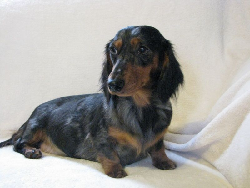 Black And Tan Dapple Dachshund Long Hair Dapple Dachshund Black