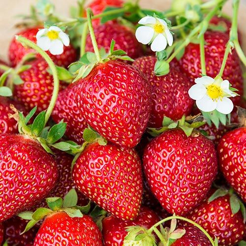 Ozark Beauty Strawberry | Gurney's Seed & Nursery Co. #fiberfruits
