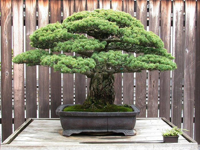 Extraordinary 394 Year Old Bonsai Tree Survived The Hiroshima Bombings And Continues To Grow To This Day Bonsai Tree Bonsai Plants Indoor Bonsai