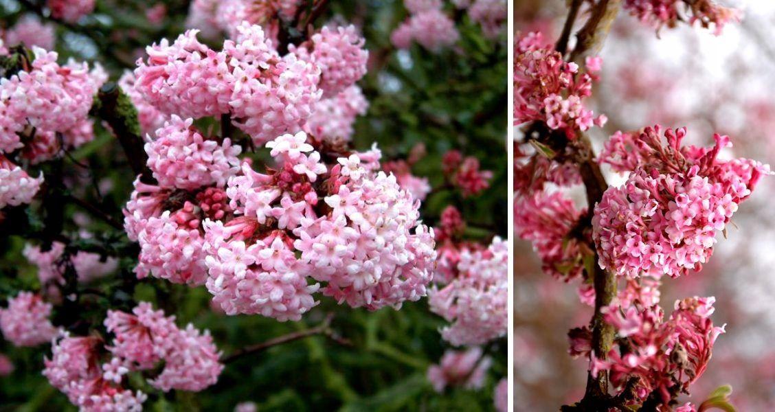 Kwitnaca Zima Kalina Dawn Rozowe Trabki 9154549771 Oficjalne Archiwum Allegro Plants Red Peppercorn Red