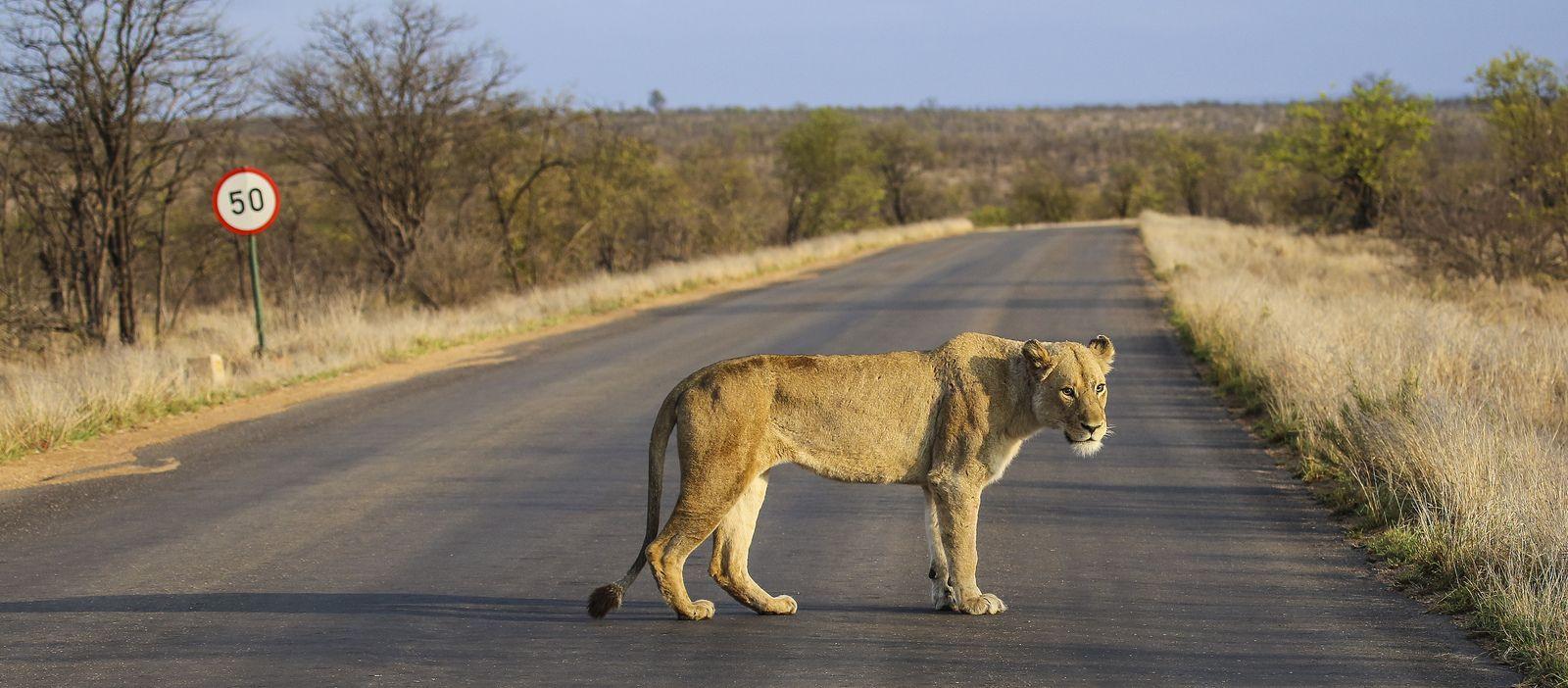 lioness | Flickr - Photo Sharing!