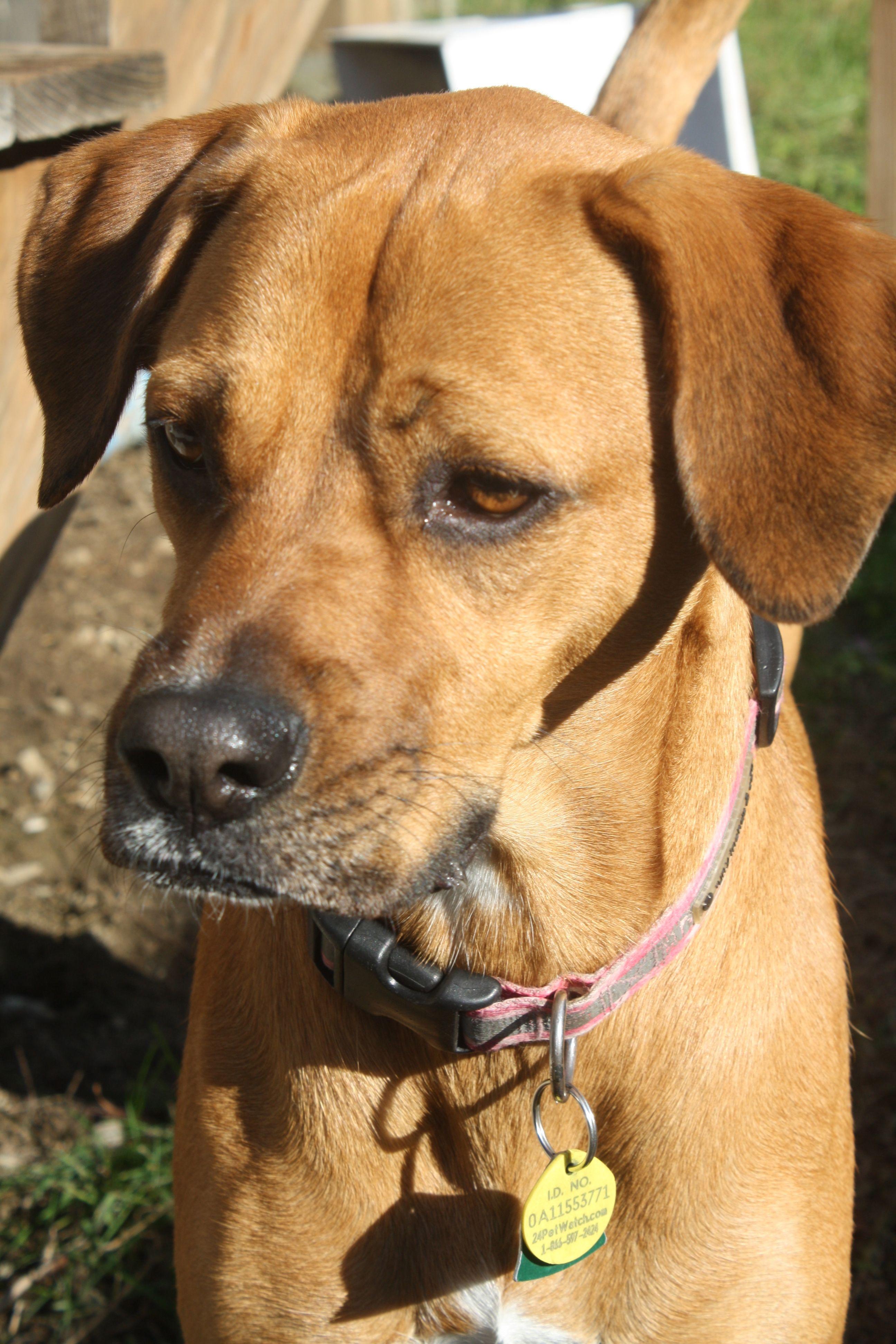 Our babygirl. Labrador retriever