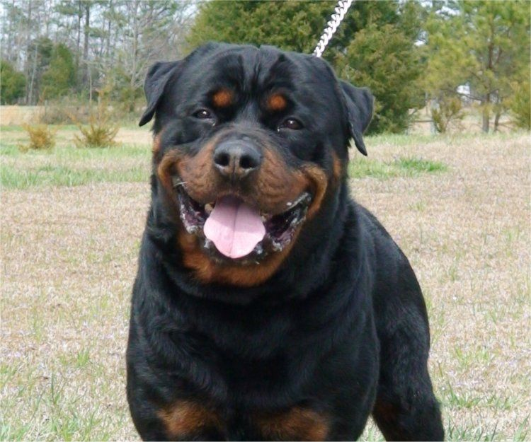 Biggie S Big Beautiful Dad With Images Dog Breeds Rottweiler