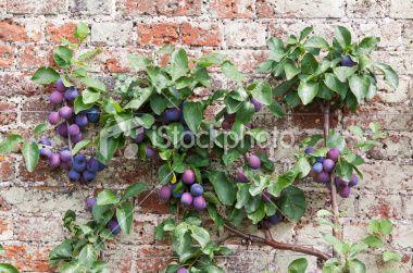 Espalier Plum Tree Laden With Ripe Victoria Plums Trained Across Fruit Tree Garden Dwarf Fruit Trees Apple Tree Garden Design