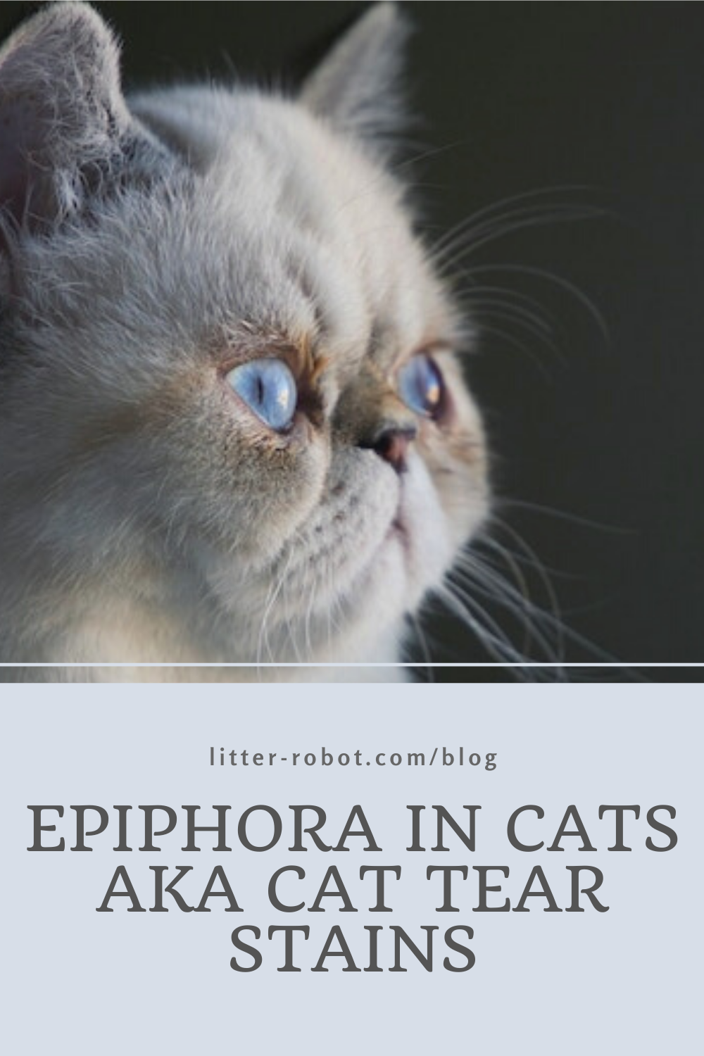 Epiphora Is A Type Of Cat Eye Discharge That Pet Parents Might Commonly Refer To As Cat Tear Stains Learn Why This Type Of In 2020 Cat Eye Discharge Cats Tear Stains