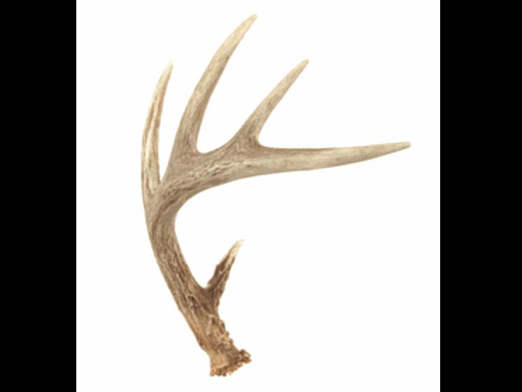 Authentic Deer Antler Large Christopher Allen Decor Shoot Us An Email If You See Something You Like Elk Antlers For Dogs Deer Horns Elk Antlers