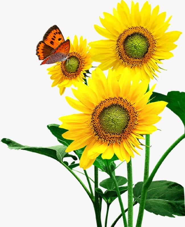 Sunflower Sunflower, Sunflower Clipart, Sunflower, Flowers ...