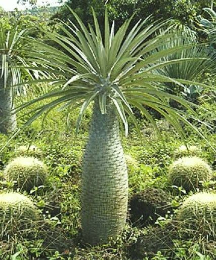 Pachypodium geayi 10 seeds