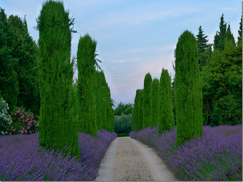 allee of italian cypress underplanted with lavender nature pinterest g rten. Black Bedroom Furniture Sets. Home Design Ideas