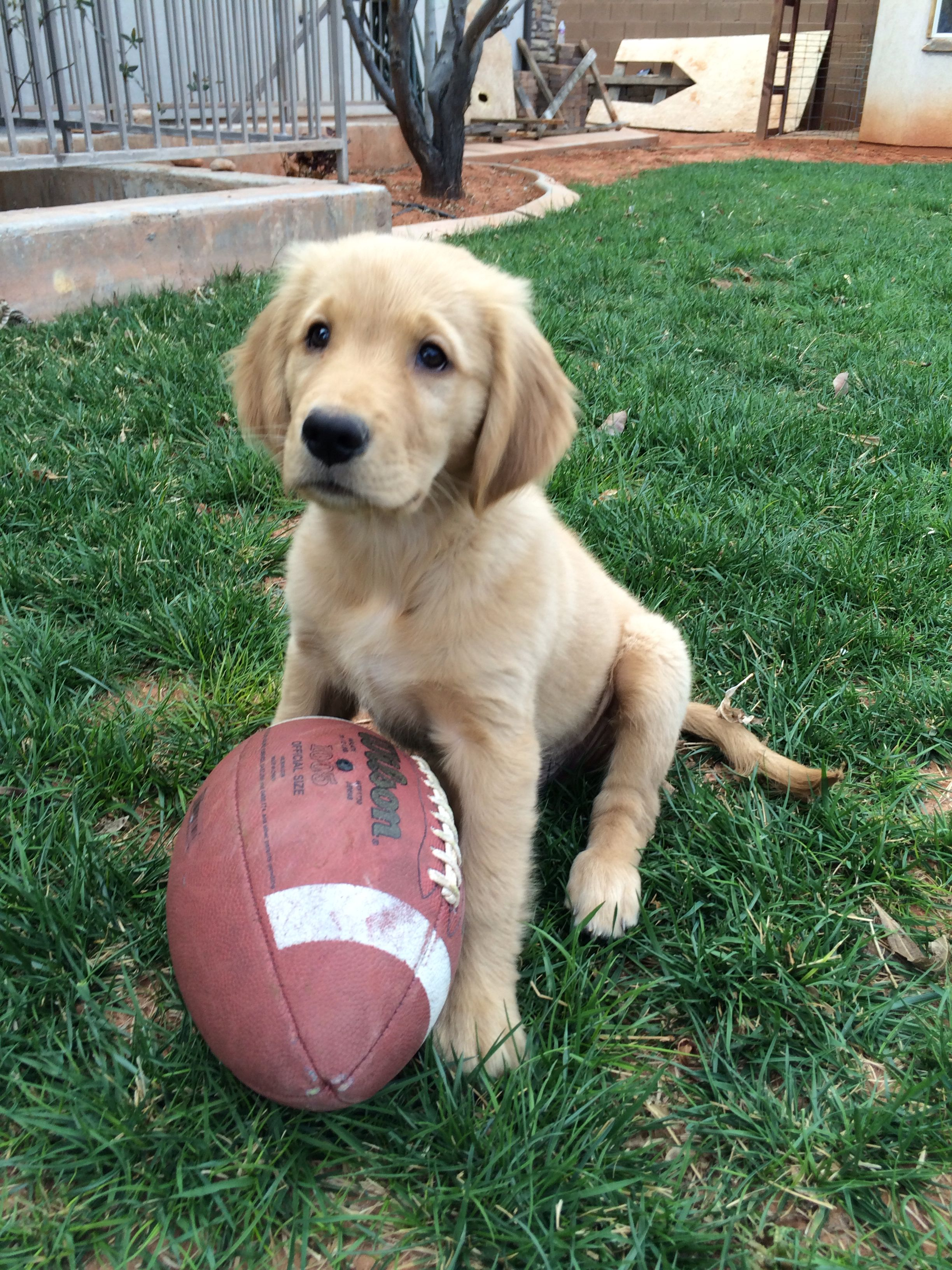 Golden Retriever Puppy Beautiful Dog Breeds Most Beautiful Dog